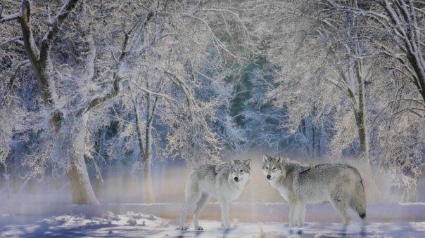 Lobos en Yellowstone