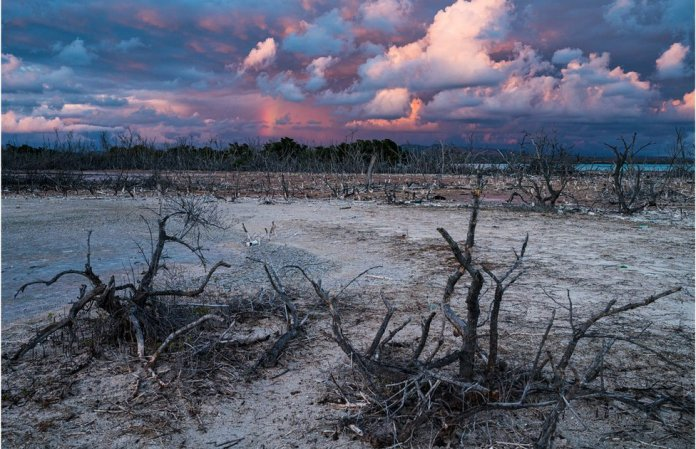 A landscape of dead mangrove trees beneath a cloudy sky
