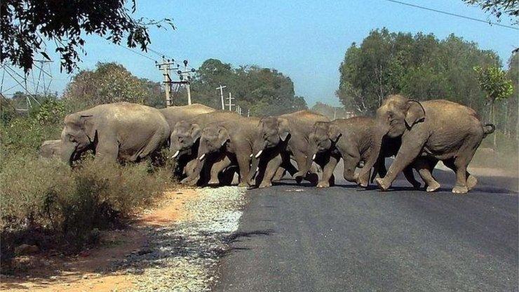 Elefantes cruzan un camino en India