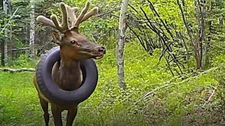 Elk with car tyre stuck around its neck for two years is free at last