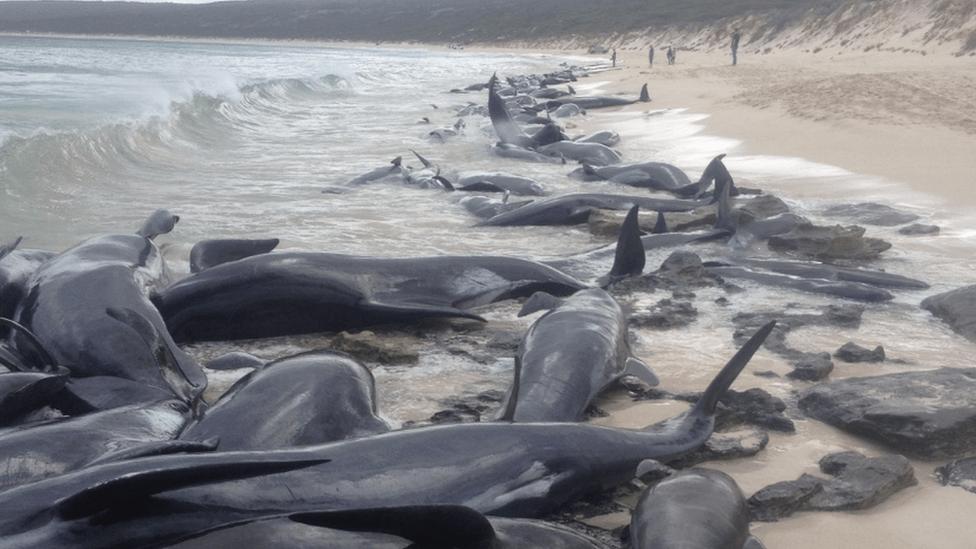 クジラ270頭、豪タスマニア島で打ち上げ 90頭以上が死亡 - BBCニュース