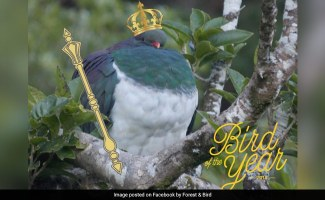 New Zealand Votes ''Tipsy'' Pigeon Bird Of The Year