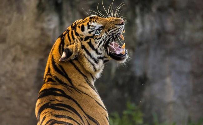 अरुणाचल प्रदेश में बाघिन मौल चिड़ियाघर परिचारक, 'गेट्स खुले थे', अधिकारी कहते हैं