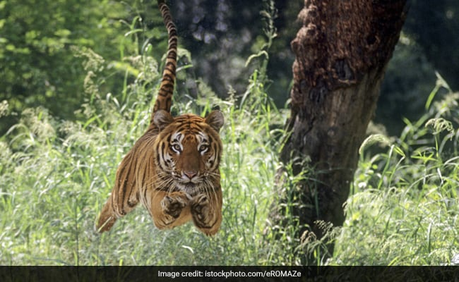 Tigers Must Be Punished For Eating Cows Like Humans: Goa MLA