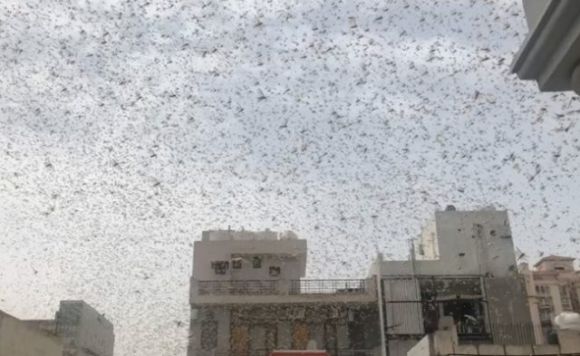 Locust Attacks Pose 'Serious Threat' To Food Security In India: UN Agency
