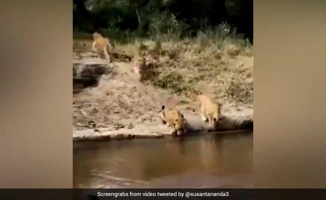 भरी गर्मी में नदी में पानी पी रहा था शेर, पीछे से आ गए इतने सारे और फिर... देखें पूरा Video