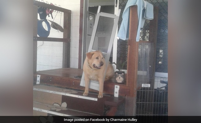 Dog Put On A Diet After Getting Stuck In Doggy Door. Pics Have People In Splits