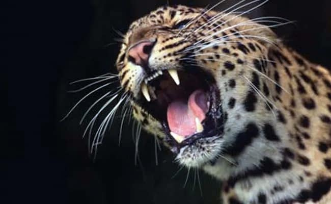 Maharashtra Woman Fights Leopard With Bamboo Stick To Save Daughter