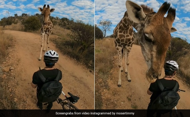Curious Giraffe Stops Mountain Biker For A Sniff. 10 Million Views For Video | Latest News Live | Find the all top headlines, breaking news for free online April 30, 2021