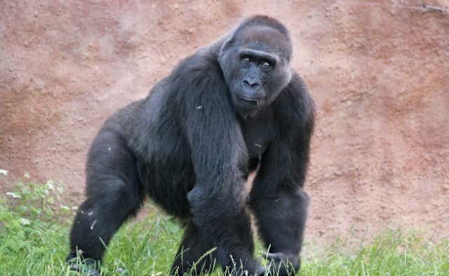 That Famous Gorilla Chest Thump: What They're Trying To Say