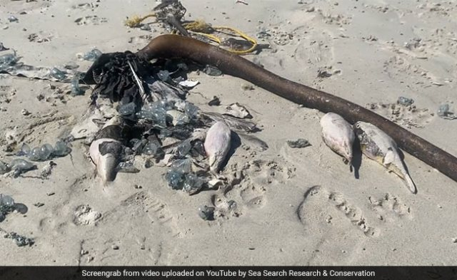 Hundreds Of Sea Creatures 'Deadlier Than Cyanide' Found Washed Up On Beach