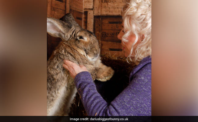 UK Police Hunt For Thieves Who Stole World's Biggest Rabbit