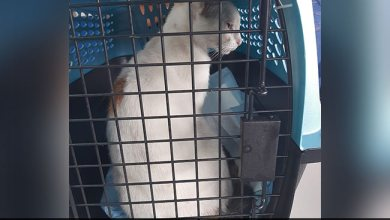 Cat Caught Smuggling Drugs Into Panama Prison