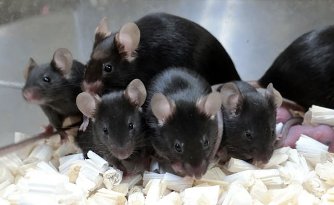 Mouse Sperm Stored On International Space Station Produces Healthy 'Space Pups'