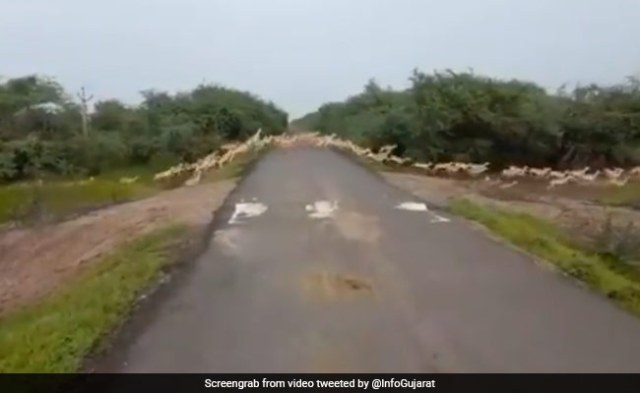 'Excellent': PM Shares Video Of 'Over 3000 Blackbucks' Crossing A Road
