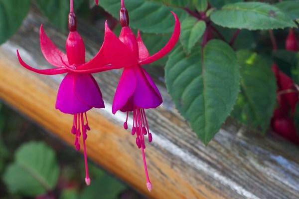 картинки : лист, цветок, лепесток, Красный, ботаника ...