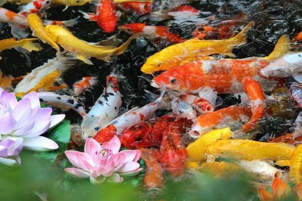 картинки : цветок, рыба, Золотая рыбка, Кои, Морская ...