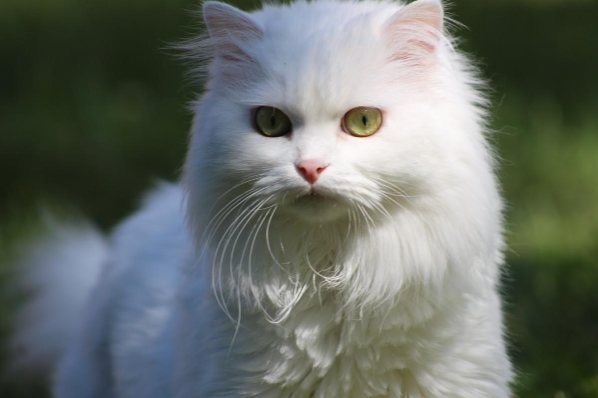Free Images Fauna Whiskers Vertebrate Persian