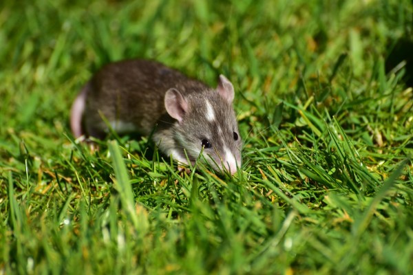 Free Images nature grass sweet mouse cute wildlife