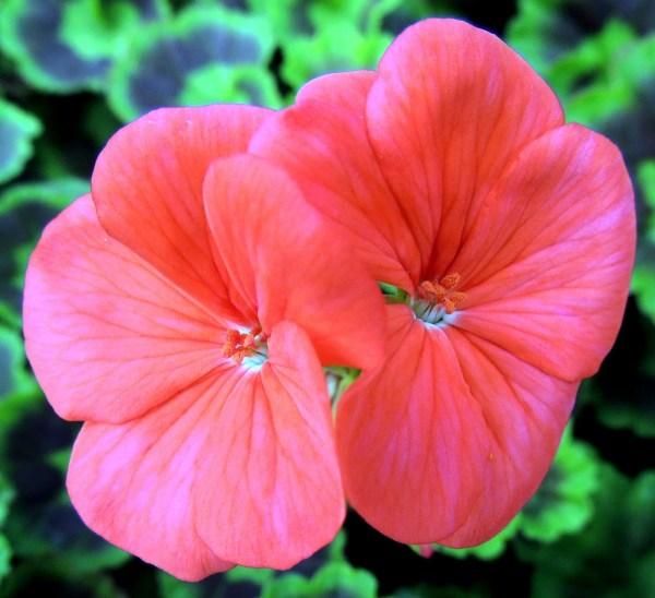 картинки : лист, лепесток, Красный, ботаника, Флора, Дикий ...