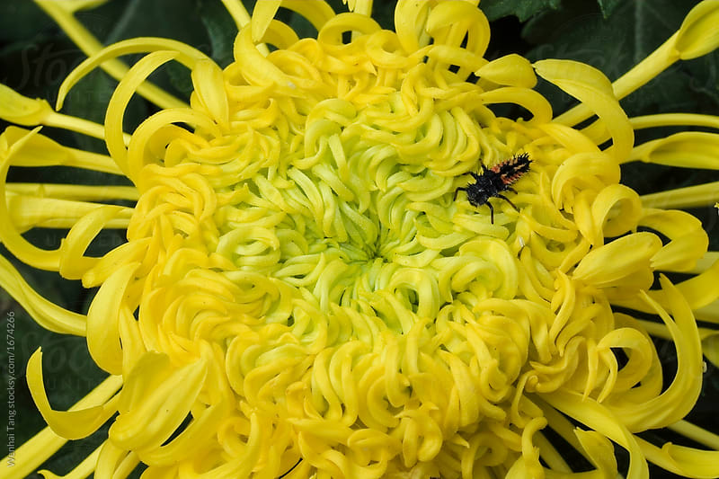Freshness yellow chrysanthemums flowers of close up   Stocksy United Freshness yellow chrysanthemums flowers of close up by Wenhai Tang for  Stocksy United