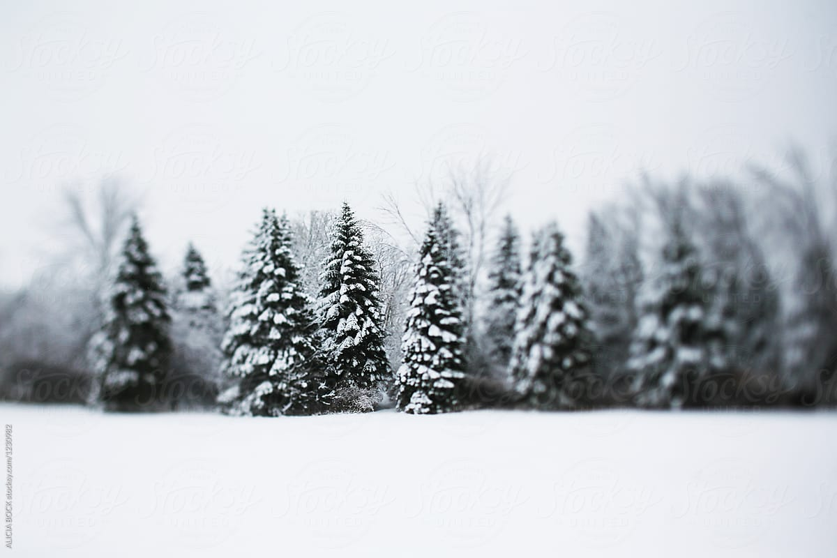A Row Of Tall Pine Trees Covered With Snow On A Cold