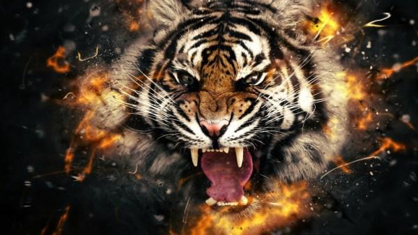 обои : лицо, Животные, Тигр, Большие кошки, Бакенбарды ...