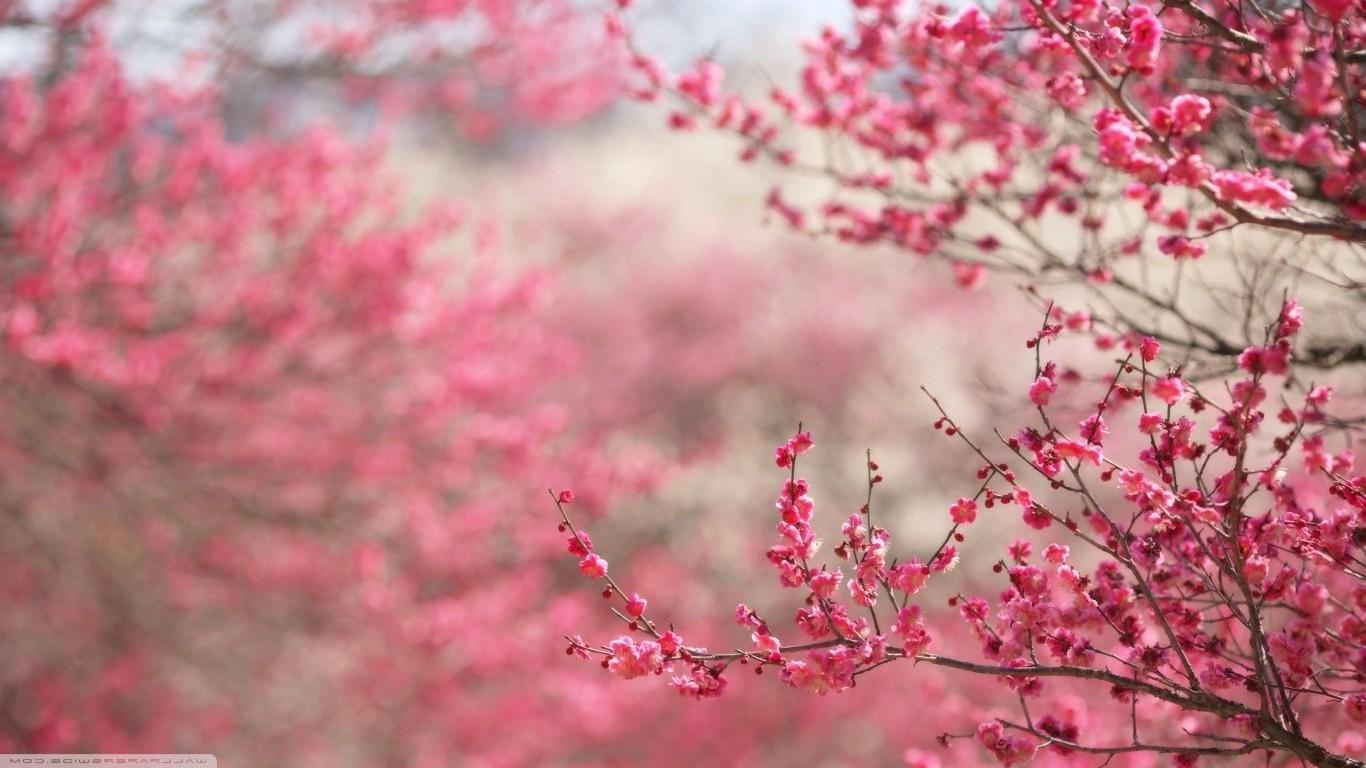 1366x768 px fleur de cerisier japon