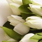 Wallpaper Putih Bunga Bunga Tulip Hijau Kuning Buatan Menanam Bunga Bakung Flora Daun Bunga Tanaman Tanah Tanaman Berbunga Budidaya Bunga Buket Bunga Merangkai Bunga Desain Bunga Bunga Potong Kacapiring 1600x1200
