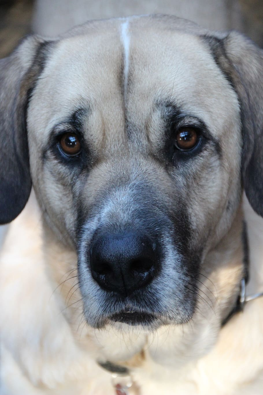 Download and discover more similar hd. Hd Wallpaper Dog Pet Herding Dog Mastin Mastino Herd Protection Dog Wallpaper Flare