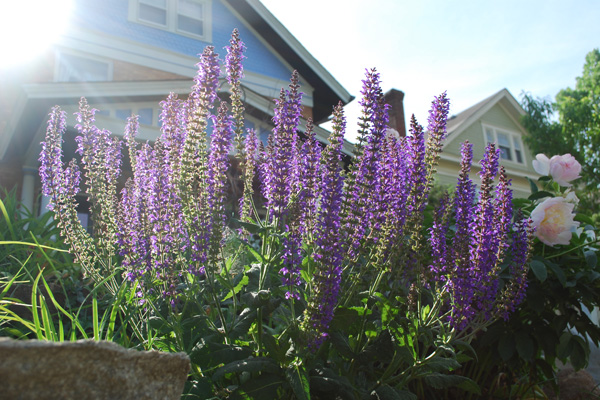 Purple salvia in a home's front yard