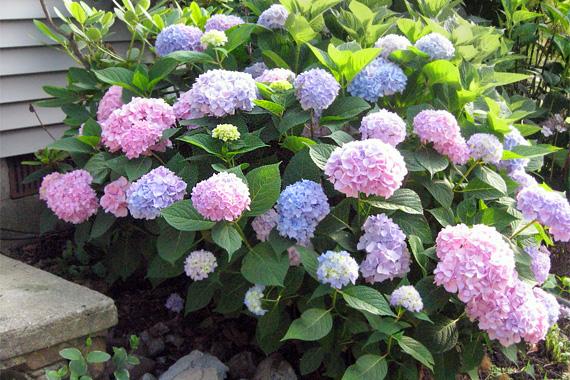 Hydrangea | Best Foundation Plantings