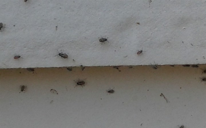 Tiny Bugs With Wings In House Iquomi Com. tiny mites in bedroom   Scifihits com