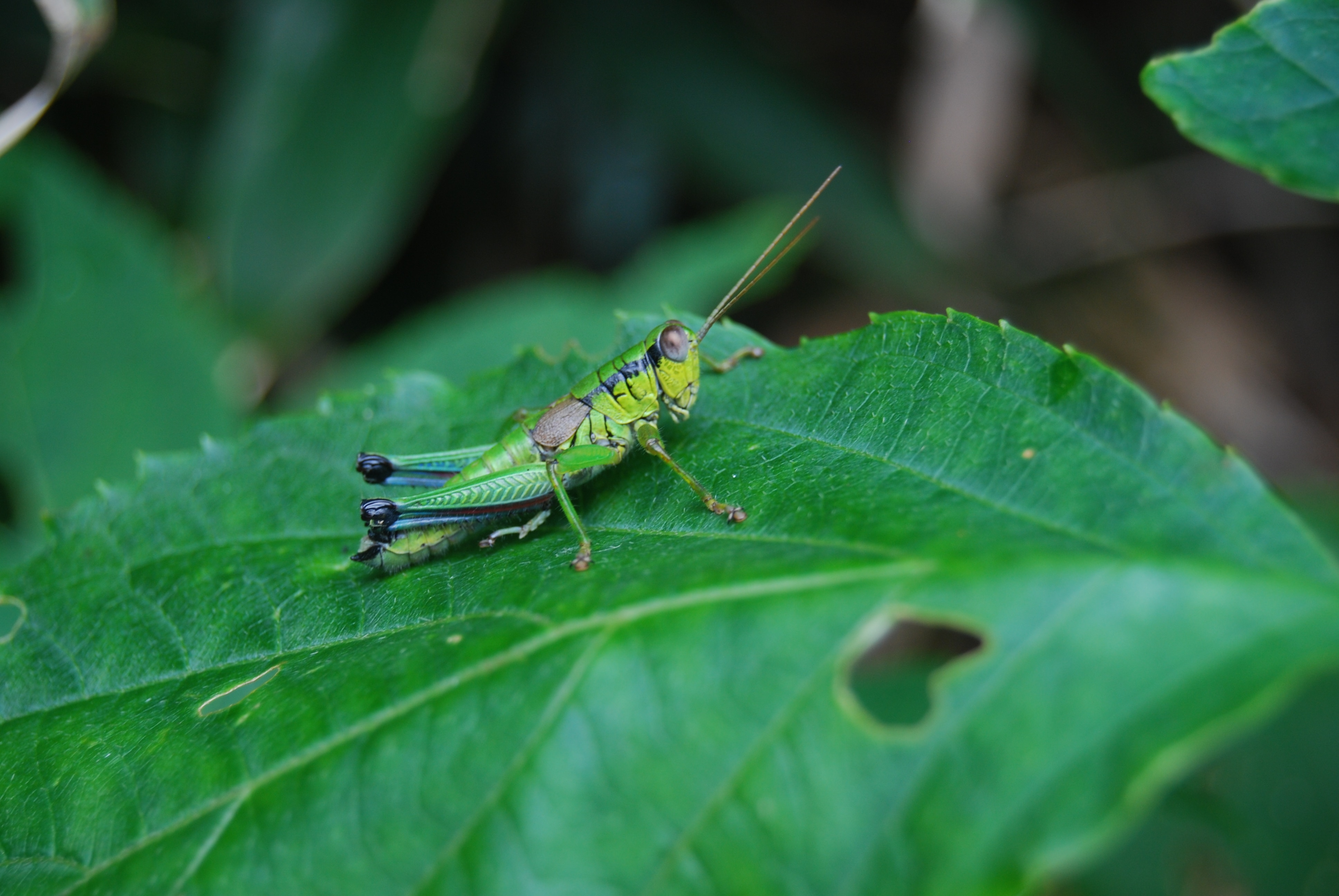 green grasshopper on green leaf plant free image | peakpx