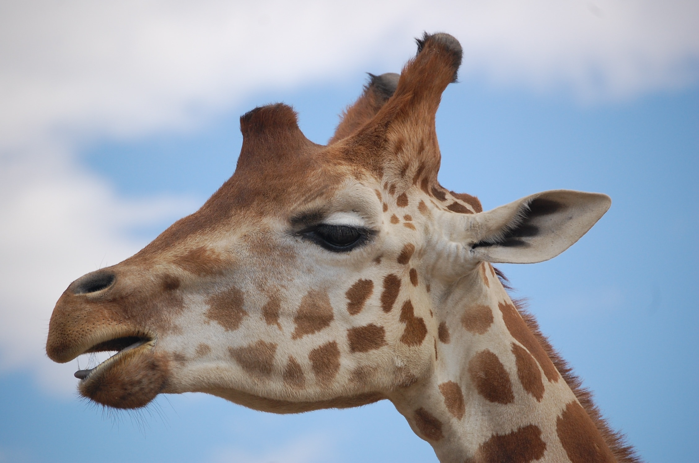 Close Up Photography Of Giraffe Free Image Peakpx