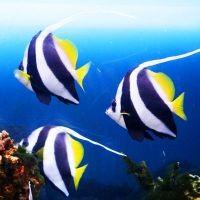 Африканская рыба-бабочка или Пантодон