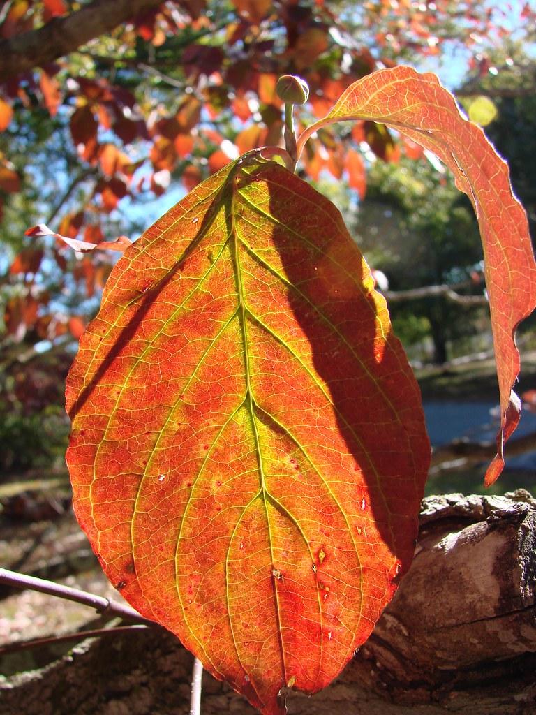 Autumn Dogwood Leaf With Sun Shining Through A Dogwood