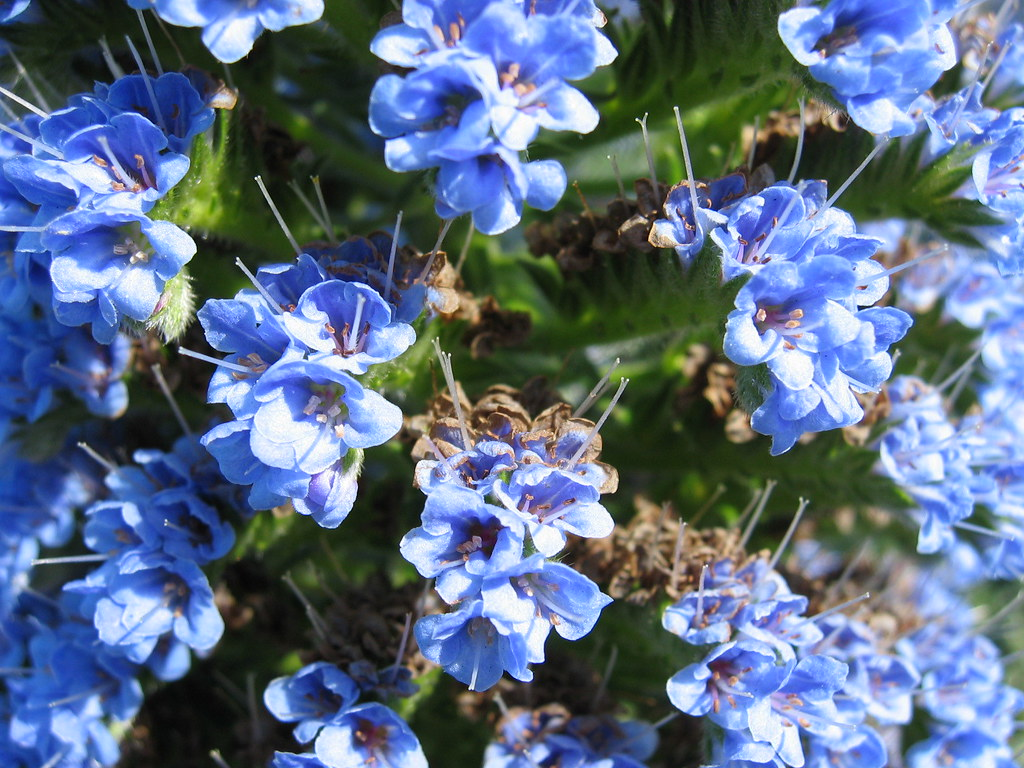 Odd Blue Flowers on a Succulent Plant   Wade Roush   Flickr     Odd Blue Flowers on a Succulent Plant   by Wade Roush