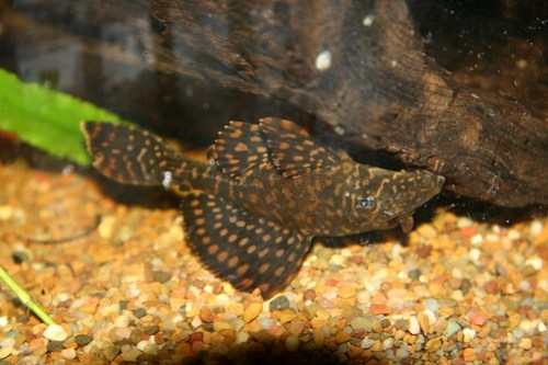 gold spotted pleco