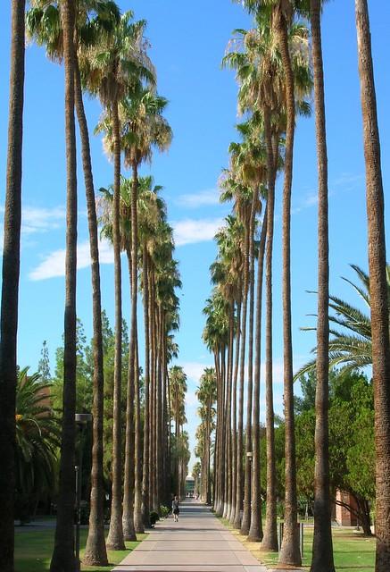 Arizona State University | Palm Walk (100+ palm trees ...