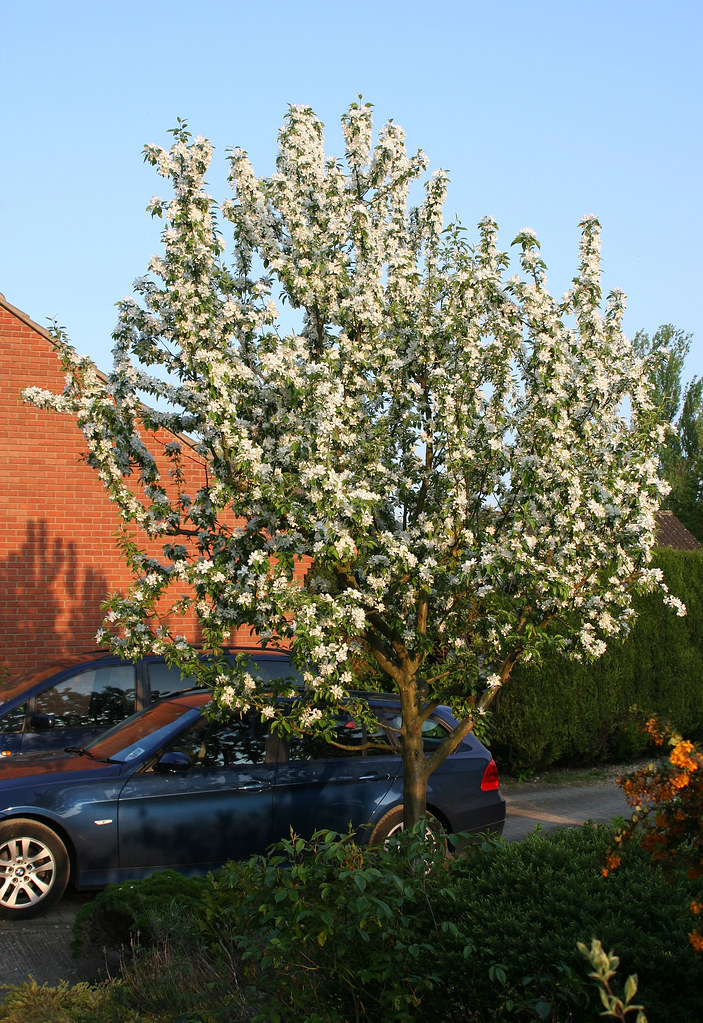 Malus Quot John Downie Quot The Crab Apple Tree In Our Front