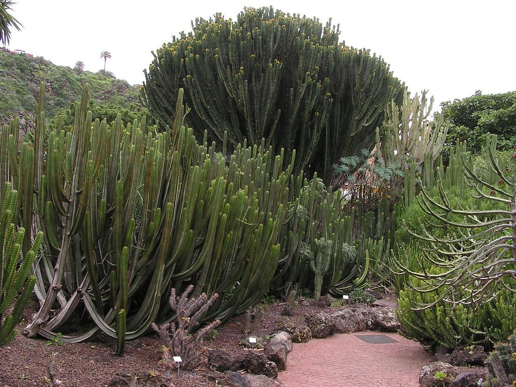 Cactus cardón Jardin Canario Las Palmas de Gran Canaria 086
