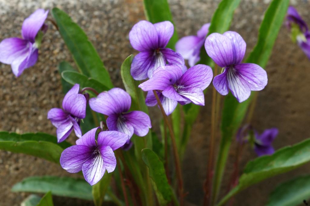 DSC 85161718hdr Sumire Mandshurian Violet Viola