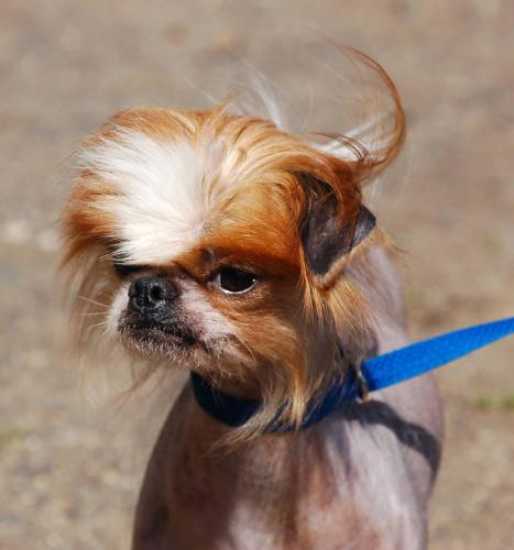 Japanese Chin Chinese Crested Mix I Didn T Take This
