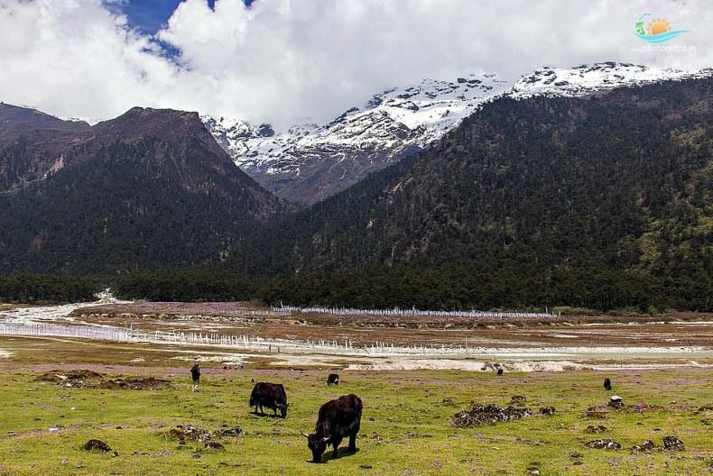 Furry Animals, Yak grazing Yumthang Valley