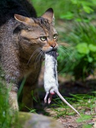 Wild cat and rat