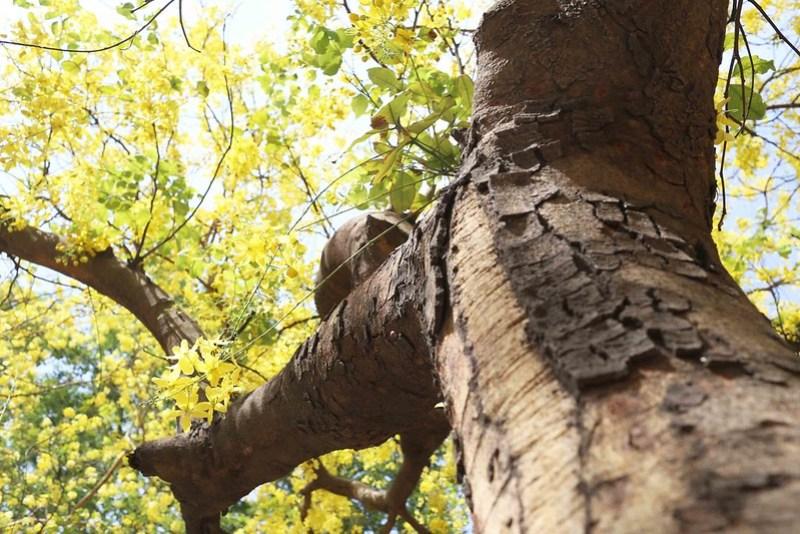 City Season - Amaltas Trees, Second Avenue, Jor Bagh