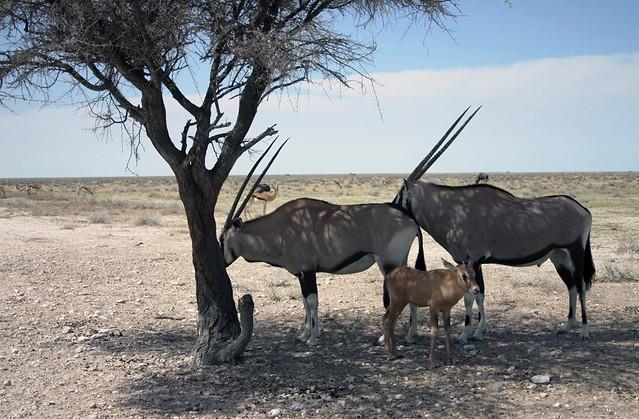 Gemsbok Calf Seeing A Baby Gemsbok Oryx Was Really