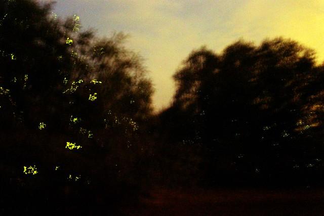 Firefly Watching in Selangor