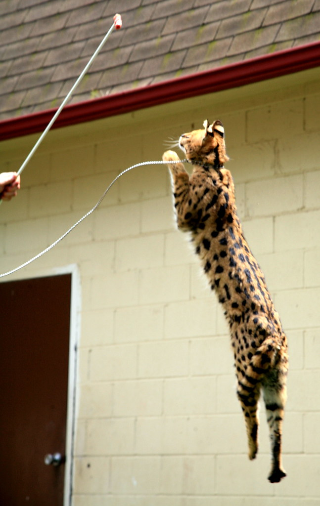 Tigger Bounce The African Serval Can Jump 8 Ft Straight